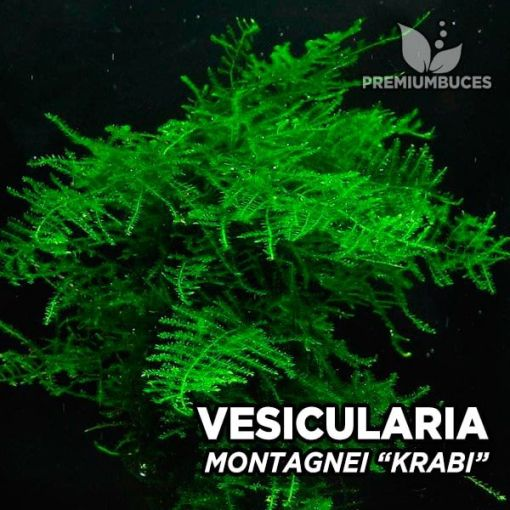 Vesicularia Montagnei Krabi musgo de acuario