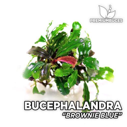 Bucephalandra Brownie Blue planta de acuario