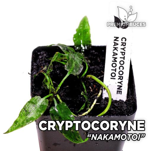 Cryptocoryne Nakamotoi planta de acuario