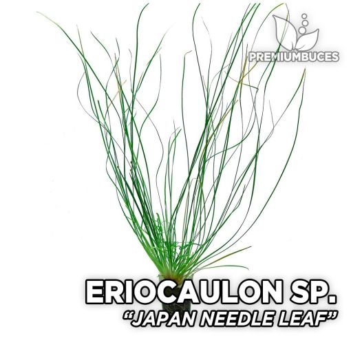 Eriocaulon Japan Needle Leaf planta de acuario