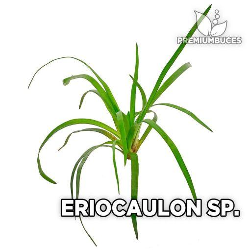 Eriocaulon sp planta de acuario