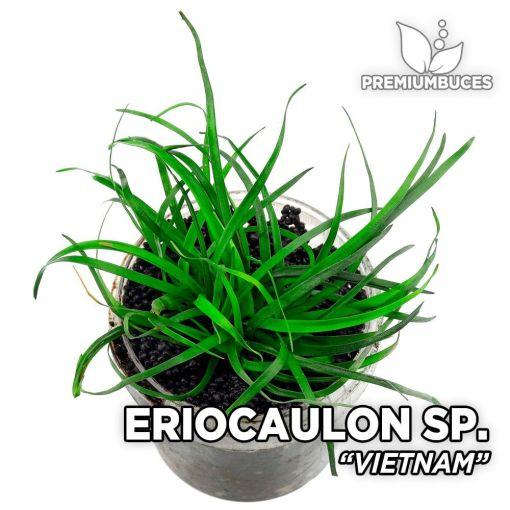 Eriocaulon Vietnam planta de acuario