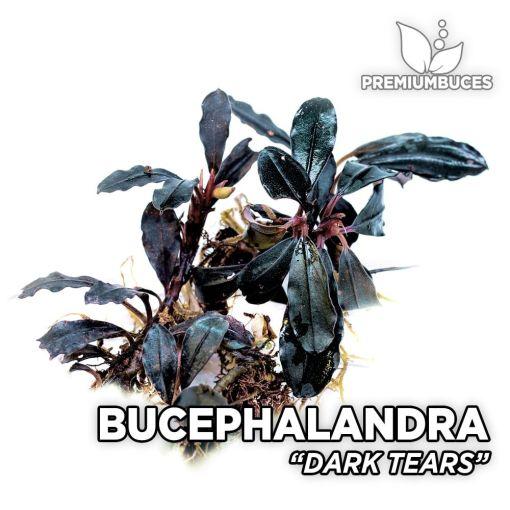 Bucephalandra Dark Tears planta de acuario