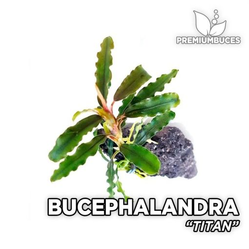 Bucephalandra Titan planta de acuario