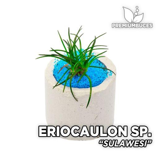 Eriocaulon Sulawesi planta de acuario