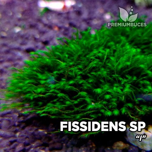 Fissidens sp I musgo de acuario