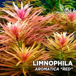 "Limnophila Aromatica ""Red"" planta de acuario"