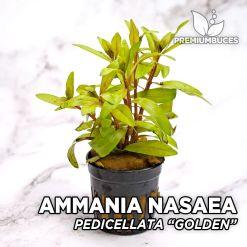"""Ammannia Pedicellata """"Golden"""" Planta de acuario"""