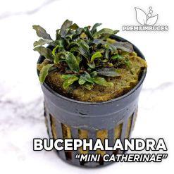 "Bucephalandra ""Mini Catherinae"" Planta de acuario"