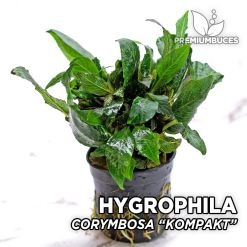 "Hygrophila Corymbosa ""Kompakt"" Planta de acuario"