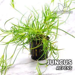 Juncus Repens Planta de acuario