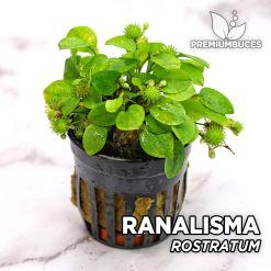 Ranalisma Rostratum Planta de acuario