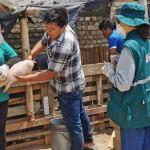 Producción de ganado porcino se benefició con vacunación de más de 180 mil cerdos