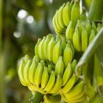 Chepén: agricultores participarán en escuela de campo de banano