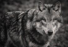 Lone Wolf Survivalist