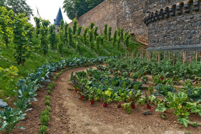 vegetables-between-the-walls-of-andernachs-medieval-castle- prepper garden