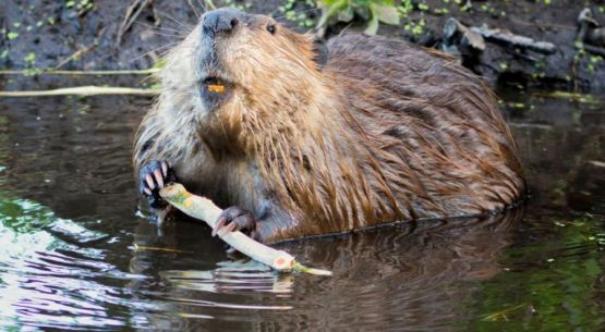 Over the past 75 years, beaver restocking efforts have helped restore populations to very healthy levels. (Submitted photo) ###