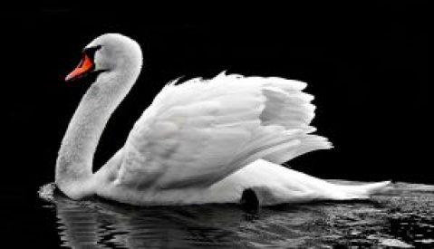 swan-2107052_640