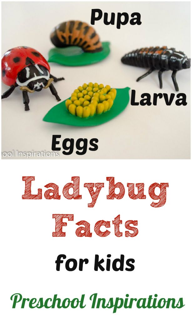 Preschool Inspirations ~ 20 Ladybug Facts for Kids