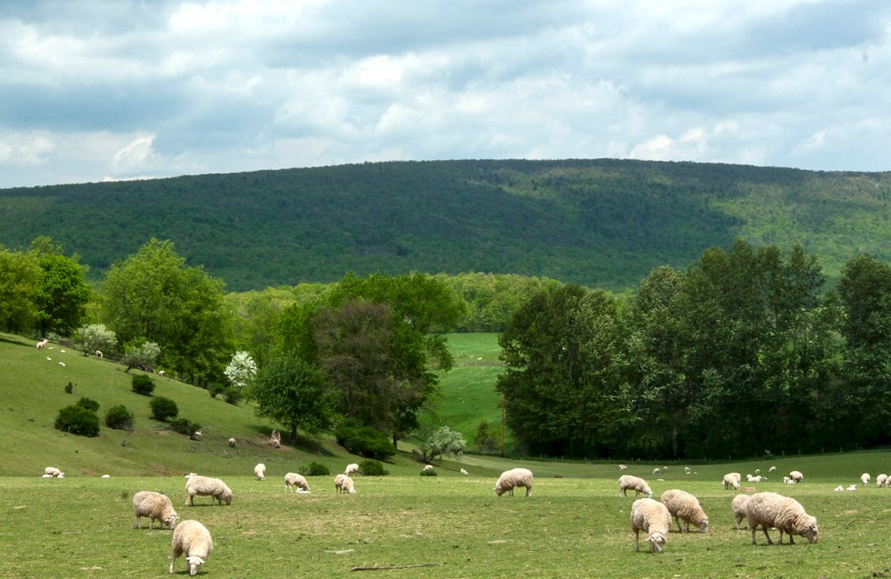 Sheep graze among rolling hills, sheltered by a mountain ridge that may soon be topped with wind turbines