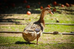 Silver Appleyard Hen