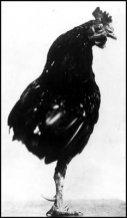 Rooster-Roosevelt