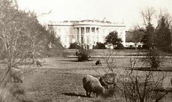 Sheep-WW