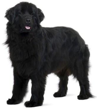 President Garfield's dog Veto looked like this.
