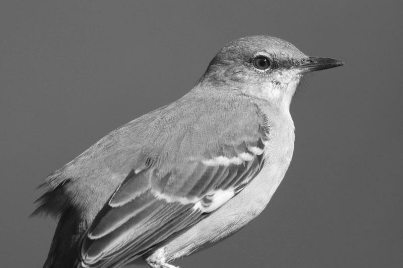 Grace Coolidge's Mockingbird