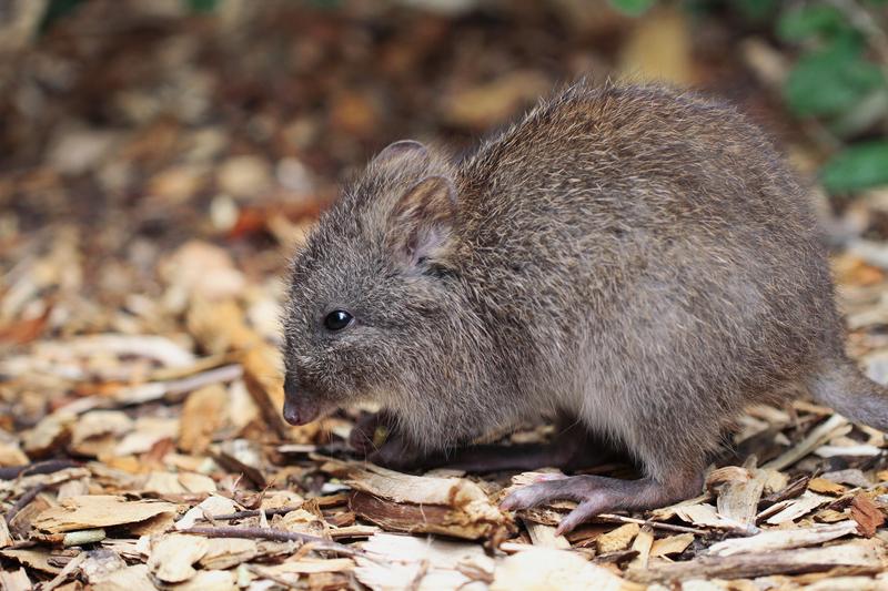 Theodore Roosevelt's Kangaroo Rats