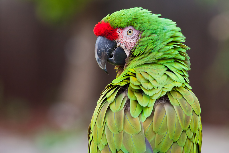 James Madison – Dolley's Parrot