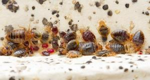 Bed Bugs5