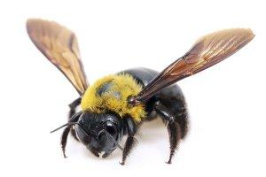 carp bees