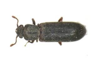 Wood-Boring Beetles