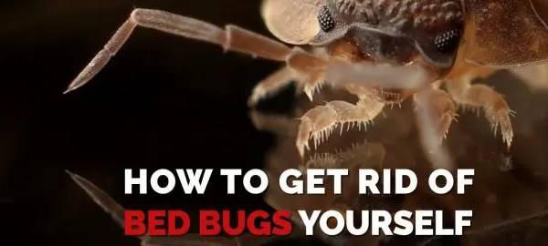 get-rid-of-Bed-Bugs-Yourself