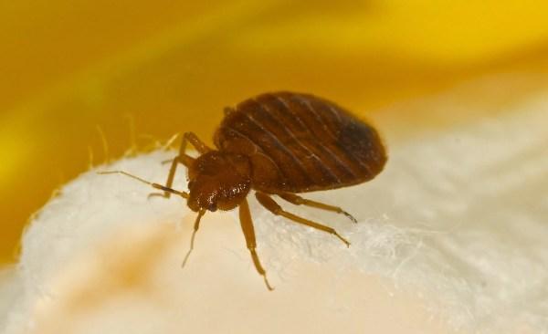 Pesky-Bed-Bugs