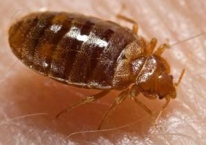 bedbug 9 Presidio Pest Management