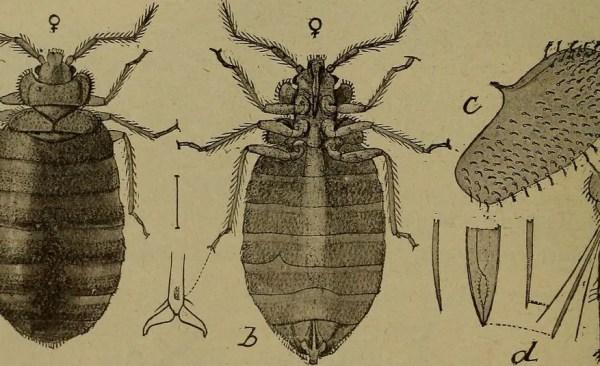 bedbugs4 Presidio Pest Management