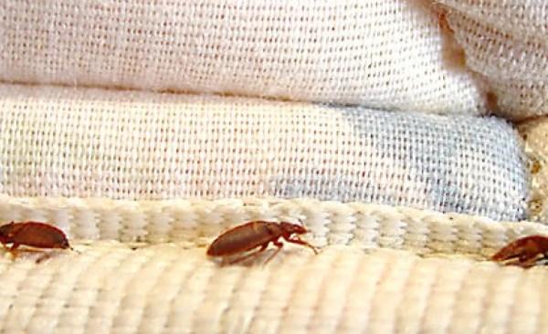 boric acid bedbugs Bedbugs Presidio Pest Management