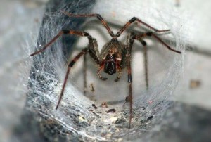 The Australian Funnel Web Spider