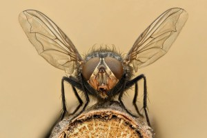 Flies scaled