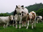 Farmers have urged to be safe around cows and calves