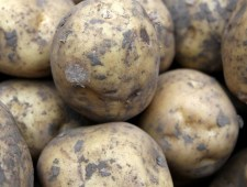 Blackleg is a major problem for potato growers