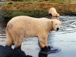 Scotland's only polar bears, Walker and Arktos, celebrate International Polar Bear Day