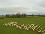 A drone camera has successfully herded a flock of sheep