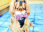 Here is a picture of Rory the one year old Cavalier King Charles Spaniel. He belongs to Lucy, Fiona, Sophie, Amy and Keith Bender of Old Aberdeen. This well dressed chap is our winner this week.