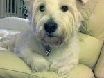 This is Rhuirdh the westie, who thinks the settee is all his. He lives with Helen Fraser in Culloden.