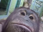 The orangutans enjoyed an afternoon with the camera...