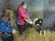 Pupils help feed a calf during the farm visit.