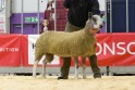 Michael Seed's Bluefaced Leicester champion sold for 800gn